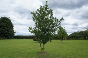 Royal Oak Tree
