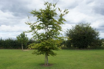 Common Beech Tree