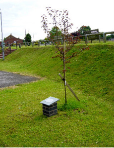 Memorial and Flowering Plum Tree dedicated to Hector Young - 2009.